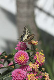 Butterfly meal. A butterfly feeding on a flower royalty free stock images