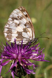 Butterfly (melanargia galathea) Stock Photography