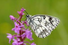 Butterfly - Melanargia galathea Royalty Free Stock Photography