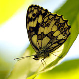Butterfly (Melanargia galathea) Royalty Free Stock Photos