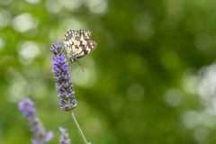 Butterfly Melanargia galathea on a lavender flower stock image