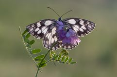A butterfly Melanargia galathea. On a pink field flower awaits dawn spreading its wings royalty free stock photos