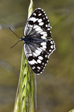 Butterfly/melanargia larissa. Macro photo of butterfly hovers in spring before summer Royalty Free Stock Photos