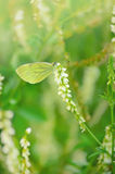 Butterfly on Melilotus albus flower Stock Image