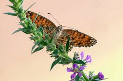 Butterfly Melita  among forest flowers spread its wings royalty free stock images