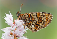 Butterfly (Melitaea-athalia) royalty free stock image