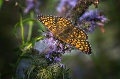 Butterfly Melitaea aurelia Stock Image