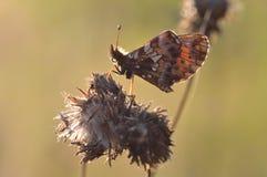 Butterfly (Melitaea cinxia) Stock Photos