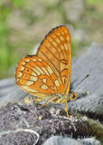 Butterfly (Melitaea)  Royalty Free Stock Images