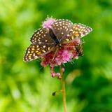 The butterfly Melitaea diamina (Melitaea diamina) Royalty Free Stock Photography