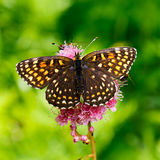 The butterfly Melitaea diamina (Melitaea diamina) Stock Image