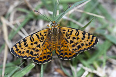 Butterfly melitaea didyma resting Stock Photography