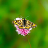 Butterfly. (Melitaea didyma)sitting on a flower Stock Images