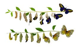Butterfly Metamorphosis from Caterpillar to Full-bodied Specie Vector Illustration