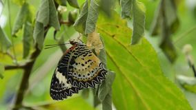 Butterfly metamorphosis from cocoon and prepare to flying on branch in garden