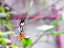 Butterfly on Mexican flower Royalty Free Stock Photo