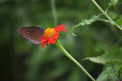 Butterfly. On a Mexican Sunflower Stock Photo