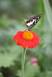 Butterfly. On a Mexican Sunflower Royalty Free Stock Images