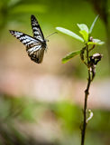Butterfly in mid-air Royalty Free Stock Photos