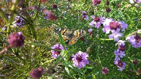 Butterfly in the middle of purple flowers, with flowers out of focus stock photo