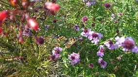 Butterfly in purple flowers stock images