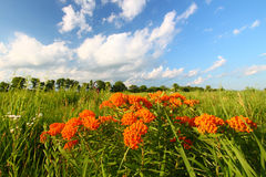 Butterfly Milkweed (Asclepias tuberosa). In a northern Illinois prairie Royalty Free Stock Photo