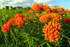 Butterfly Milkweed Asclepias tuberosa. In a northern Illinois prairie royalty free stock images