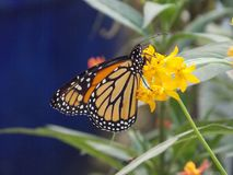 Butterfly on milkweed royalty free stock photos