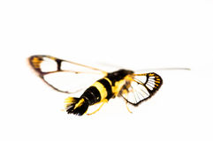 Butterfly mimic isolated on white Royalty Free Stock Photo