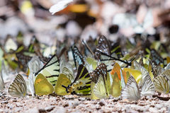 Butterfly mineral lick Royalty Free Stock Images