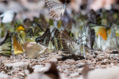 Butterfly mineral lick Royalty Free Stock Photo