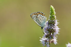 Butterfly on mint flower Royalty Free Stock Images