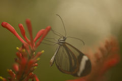 Butterfly in the Mist Royalty Free Stock Photos
