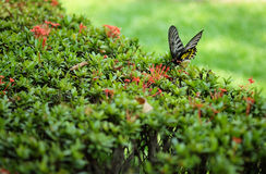 Butterfly mixing. A butterfly eating a sweet and mixing pollen's Ixora Royalty Free Stock Images