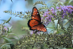 Butterfly monarch. Beatiful monarch butterfly in a butterfly bush they love the flowers royalty free stock photos
