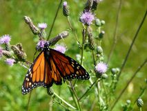 Butterfly Monarch Royalty Free Stock Images