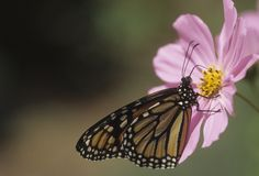 Butterfly monarch Stock Photo