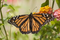 butterfly monarch Στοκ Εικόνες