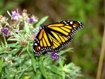 Butterfly, Monarch Butterfly, Moths And Butterflies, Insect Royalty Free Stock Photos