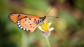 Butterfly. Monarch butterfly on flower royalty free stock photos