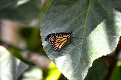 Butterfly. Monarch butterfly on a green leaf royalty free stock photos