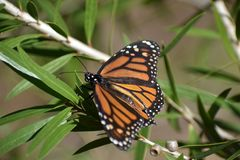 Butterfly. Monarch butterfly landed royalty free stock photo