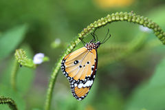 Butterfly. The Monarch Butterfly in Natural royalty free stock images