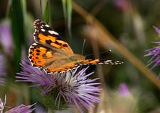 Butterfly. Monarch butterfly perched on a thistle royalty free stock photos