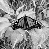 The Butterfly. A monarch butterfly resting on some leaves and grass stock photography