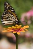 butterfly monarch zinnia royaltyfri fotografi