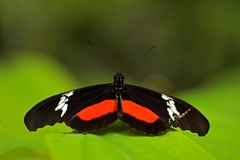 Butterfly Montane Longwing, Heliconius clysonymus, in nature habitat. Nice insect from Costa Rica in the green forest. Butterfly s Stock Photos