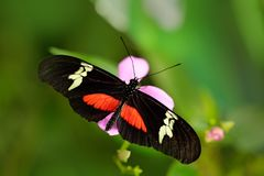 Butterfly Montane Longwing, Heliconius clysonymus, in nature habitat. Nice insect from Costa Rica in the green forest. Butterfly s Stock Images