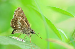 Butterfly (Moore's Ace) in a side view as a flying migratory Royalty Free Stock Image