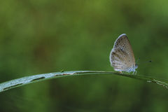 Butterfly. Morning shot of butterfly on a blade of grass Stock Photography